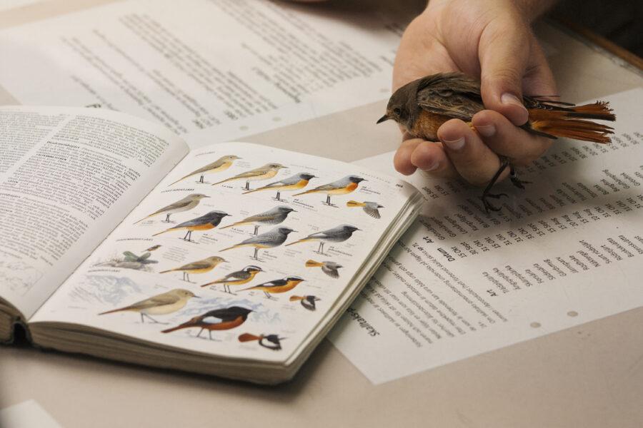 En hand håller i en rödstjärt framför en uppslagen fågelbok.